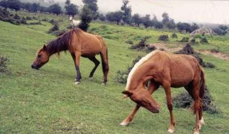 اسب های ایرانی صادراتی شدند