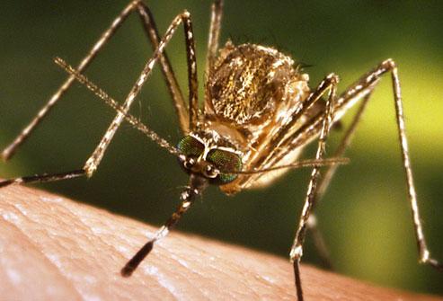 پشهها
