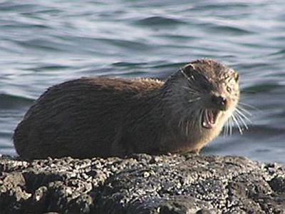 پستانداران جزیره آیلی