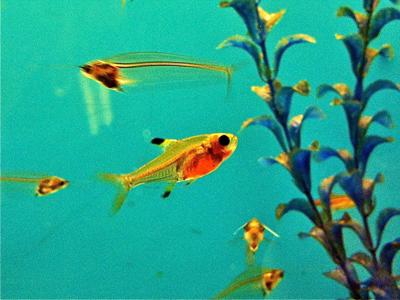ماهی تترا ایکس ری