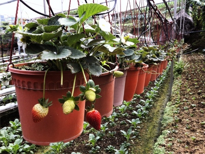 پرورش توتفرنگی