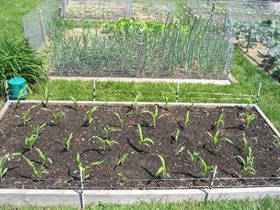 کاشت سبزه کنجد بهترین زمان کاشت سبزه انواع دانه ها | فتویاب