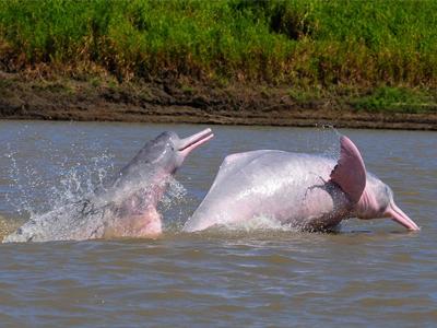 روش زندگی دلفین رودخانه