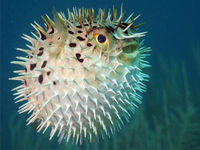 سیستم دفاعی ماهی بادکنکی