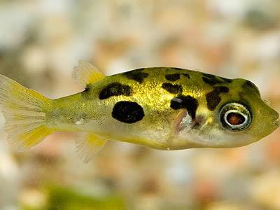 گونه های ماهی بادکنکی
