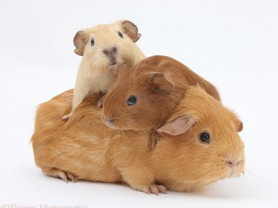 رفتار خوکچههای هندی