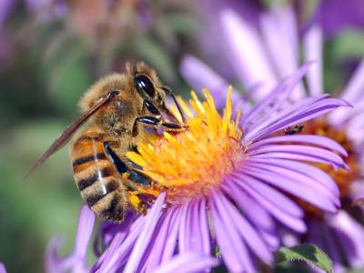 رژیم غذایی زنبورعسل
