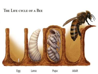 زاد و ولد زنبورعسل