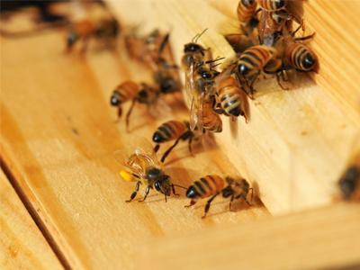 وضعیت حفاظتی زنبورعسل